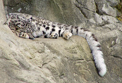 Sleeping snow leopard cub (Tambako the Jaguar) Tags: sleeping wild cute cat zoo cub schweiz switzerland big feline zurich kitty fluffy bigcat zrich wildcat snowleopard felid panthera schneeleopard snowkitty uncia zoozrich loparddesneiges panthredesneiges faceoffwinner photofaceoffwinner pfogold