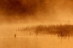 Loon and Reeds (Peter Bowers) Tags: morning mist lake ontario canada nature water reeds landscape photo bravo natural outdoor naturalbeauty loon peterbowers magicdonkey outdoorphotography gullriver monochromia peterbowersphotography