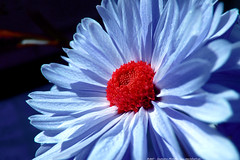 cerulean bloom (atomicshark) Tags: leica blue red flower macro nature closeup lumix petals spring azure panasonic bloom fz30 cerulean naturesfinest dmcfz30 atomicshark p1f1 ci33 superaplus aplusphoto pdpnw diamondclassphotographer flickrdiamond superhearts fiveflickrfavs