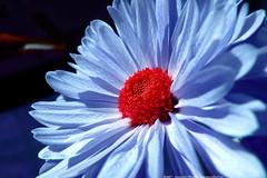 cerulean bloom (atomicshark) Tags: leica blue red flower macro nature closeup lumix petals spring azure panasonic bloom fz30 cerulean naturesfinest dmcfz30 atomicshark p1f1 ci33 superaplus aplusphoto pdpnw diamondclassphotographer flickrdiamond superhearts fiveflickrfavs