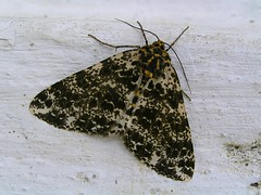 Spotted moth at the Kyichu Lakhang