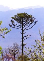 Menora pine