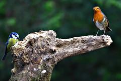 British birds (Allan Durward) Tags: ayr ayrshire robin rozelle rozellepark