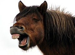 Having a Laugh? (Gunnsi) Tags: red horse brown iceland funny teeth lightyear onwhite globalvillage icelandic naturesfinest icelandichorse beautyisintheeyeofthebeholder shieldofexcellence impressedbeauty lmaoanimalphotoaward megashot superhearts lunarvillage photostosmileabout top20brown