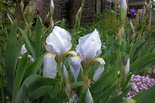 Iris barbus : définitions - classements 442527595_7ad3e9305a