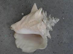 Conch (Mark Sardella) Tags: shell seashell conch mollusk mollusks molluskshell marksardella