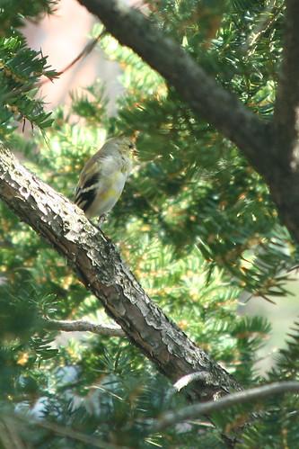 Warbler warbling
