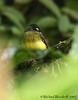 Ornate Flycatcher (Michael Woodruff) Tags: foothills bird birds ecuador birding ornate 2007 flycatcher nwecuador milpe ornateflycatcher myiotriccusornatus myiotriccus milpebirdsanctuary