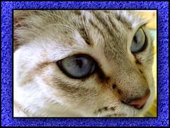 [  Brisa  ] (aunqtunolosepas) Tags: blue portrait pet cats pets cute animal animals azul closeup cat eyes bea k750i retrato sonyericsson movil gatos cutie ojos gato gata felinos felino animales cerca lovely cuteness gatitos mirada mascota mascotas brisa azules bestofcats aunqtunolosepas boc0407 lofnovb07 catnipaddicts