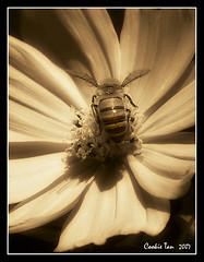 Pure Delight (mac_raw) Tags: light shadow macro sepia bravo bee explore thegallery puredelight interestingness7 magicdonkey beautyisintheeyeofthebeholder mywinners superbmasterpiece onenesslabyrinth diamondclassphotographer flickrdiamond ultrashot color macraw