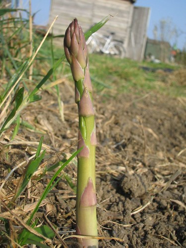 THE asparagus in the allotment