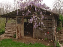 Wisteria on the chicken shed 2007