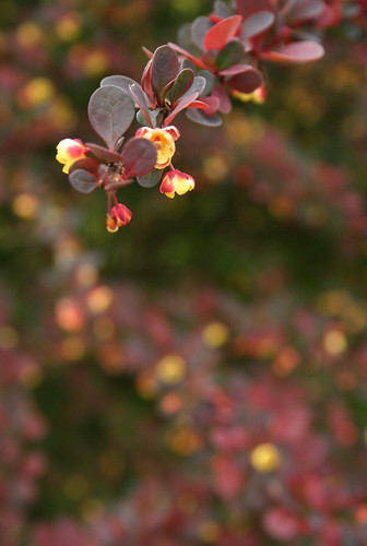 Barberry springing to life
