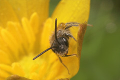 "Small Bee • <a style=""font-size:0.8em;"" href=""http://www.flickr.com/photos/57024565@N00/463870472/"" target=""_blank"">View on Flickr</a>"