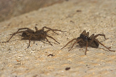 """Spiders Courtship Ritual #6 • <a style=""""font-size:0.8em;"""" href=""""http://www.flickr.com/photos/57024565@N00/464016099/"""" target=""""_blank"""">View on Flickr</a>"""