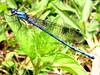 Azul Metálica (AniSuperNova83) Tags: blue macro azul close metallic libelula insecto metalica supernova83