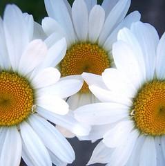 (K e v i n) Tags: flowers white macro nature daisies southernillinois