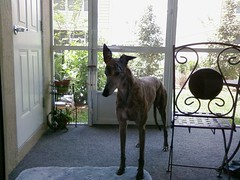 ...and stay out! (Perfectance) Tags: door dog pet greyhound glass porch lanai sharky