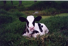 Ternerita S.J. Mi primer close up!! (cayisn) Tags: paisajes landscapes colombia cows farms holstein ternera cascadas fincas haciendas dairycattle campeiro colombianosenflickr cayisn