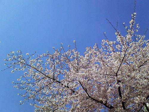 Paddock Café :: 桜と青空