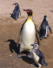 (fauna argentina) Pingüino Emperador