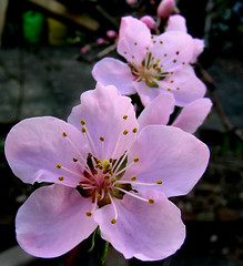 Peach Blossoms (adamantine) Tags: pink flower macro spring blossom massachusetts blossoms peach medford peachblossoms