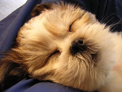 Toru snoozes_Pet Sitters Wimberley Texas