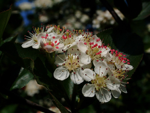 Aronia melanocarpa. Foto: Ab Aberson - Creative Commons License