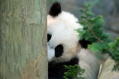 Peek A boo flickr (tammyjq41) Tags: bravo searchthebest explore lan mei zooatlanta 2007 tjs tjd impressedbeauty