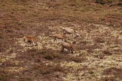 Deer (Neil McIntosh) Tags: scotland landscapes countryside scenery deer arran