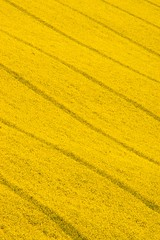 Yello 02 (tufftyrabbit) Tags: abstract field yellow landscape catchycolouryellow