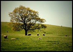 A few sheep and a tree (andrewlee1967) Tags: uk england tree landscape sheep cheshire andrewlee abigfave canon400d andrewlee1967 focusman5