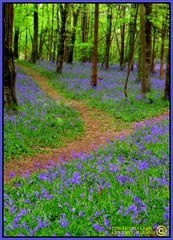 BLUE HEAVEN (Edward Dullard Photography. Kilkenny, Ireland.) Tags: kilkenny ireland irish colour home nature bluebells forest landscape heaven peace superb irland eire mystical celtic spiritual healing magical coolest emeraldisle enchanted irlanda irlande failte ierland carlow leinster naturesfinest eireann  flickrsbest beautifulireland flickrgold findingireland discoverireland holidaysvacanzeurlaub edwarddullard irelandmyireland treasuresofireland beautifulkilkenny cillchannaig flickrestrellas