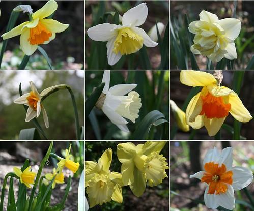 nine daffodils