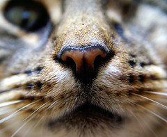 Tinker yet again (turgidson) Tags: macro wet animal cat nose dc feline minolta sigma whiskers gato 5d dynax dslr 1770 maxxum tinker konicaminolta dynax5d km5d shootwideopen 1770mm sigma1770 cc100 50club f2845 sigma1770f2845dcmacro sigma1770mmf2845dcmacro turgidson thefuzzyonez