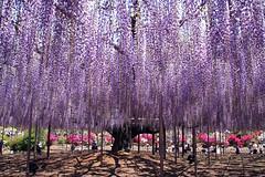 Japanese Wisteria (sakichin) Tags: plant flower japan osanpo botanicalgarden tochigi iloveit naturesfinest aitai