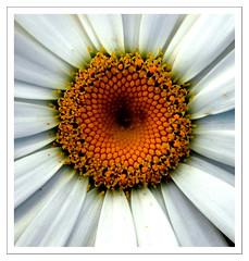 Whirlpool of Pollen (Kim Aubrey) Tags: flower macro closeup petals shots australia stamens nsw daisy outstanding naturesfinest outstandingshots outstandingshotshighlight auselite kimlou58