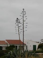 Aloe dead flower Menorca