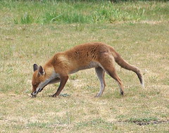 Fox on Mellish Sports Ground