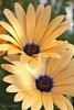 Summer Daisies 3 (Joe Barrett Photography) Tags: flower nature closeup d50 interestingness topc50 kitlens explore daisy 1855mmf3556g interestingness329 i500 flickrchallengegroup flowerpicturesnolimits searchandreward 24hoursofflickr