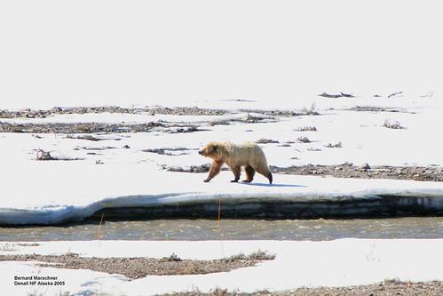 Bear on Teklanika River