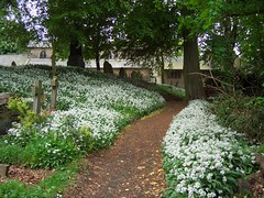Wild garlic in churchyard at Penwortham