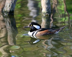 Swimming in Silk (Little Laddie) Tags: bird nature water swimming river outdoors duck hoodedmerganser naturesfinest parkstock specanimal avianexcellence