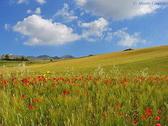 Poppies and Wheat (macmir) Tags: sardegna flowers red sky italy clouds landscape gold golden italia nuvole sardinia wheat sony may ears cybershot cielo poppy poppies fields fiori soe rossi dsc paesaggio maggio collina oro papaveri grano campi h5 papavero naturesfinest spighe campidano marmilla sanluri macmir lifebeautiful mediocampidano maurocaddeu