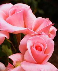 pinky sisters : thanx on Explore ! (M. TANIGUCHI) Tags: pink flower macro rose blueribbonwinner supershot abigfave flickrdiamond topogigio2007 thatsclassy