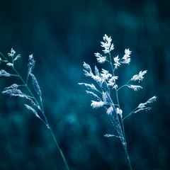 Blue grass (manganite) Tags: blue plants macro nature topf25 colors monochrome grass closeup digital germany square geotagged interestingness google topf50 nikon topf75 colorful europe bonn bokeh tl monotone topf300 explore onecolor d200 nikkor dslr topf150 toned topf100 topf250 topf200 thecolorblue rheinaue peopleschoice topf400 topf450 naturesfinest northrhinewestphalia topf500 topf350 500x500 topf600 fav100 fav200 fav300 supershot interestingness40 i500 18200mmf3556 utatafeature manganite nikonstunninggallery ipernity 500px challengeyouwinner date:year=2007 24hoursofflickr geo:lat=50709062 geo:lon=7138549 fav500 alemdagqualityonlyclub fav400 date:month=may date:day=5 format:orientation=square format:ratio=11 fav600 fav700