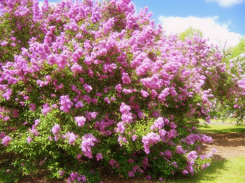 051907 Lilac Explosion