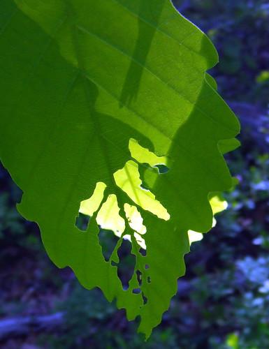 rock oak leaves 1