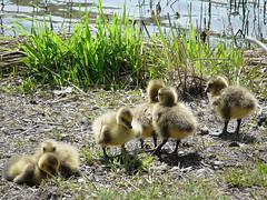 Goslings (Sameli) Tags: 6 cute bird nature birds animal animals suomi finland goslings gosling six canadagoose brantacanadensis