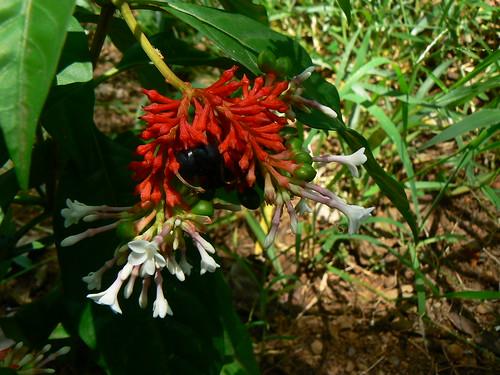 Hasil gambar untuk gambar tanaman pule